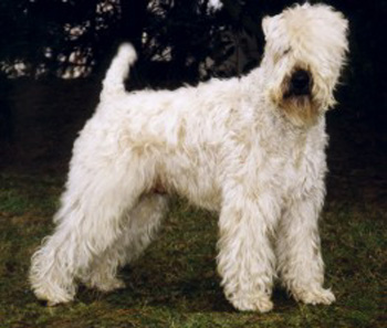 Ch. WHEATEN REBEL'S Sir Charly